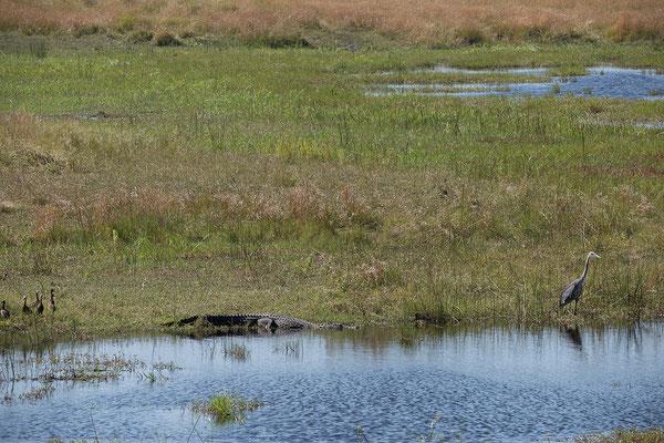 29.4. Bwabwata NP/Kwando Core Area; Nilkrokodil - Crocodylus niloticus