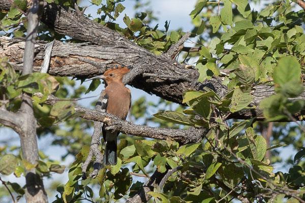 05.05. Chobe NP; African hoopoe - Upupa africana