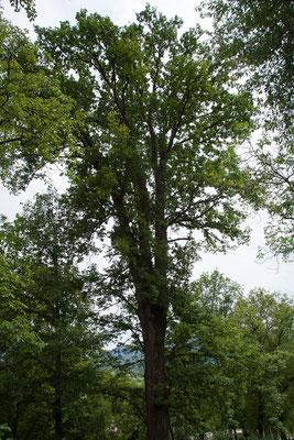 18.6. Deseşti - Die große Eiche auf dem Friedhof soll etwa 400 Jahre alt sein.