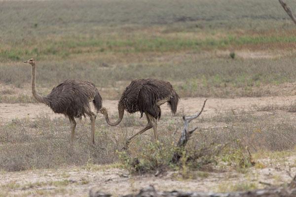 25.4. Mahango Game Reserve, Strauß - Struthio camelus