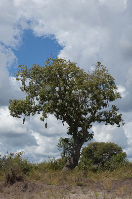 27.4. Mavunje - Bootstour; Leberwurstbaum - Kigelia africana