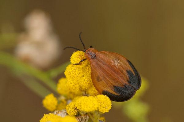 28.2. Net-winged beetle (Lycidae)