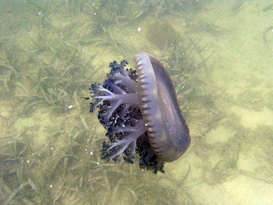Lac Bay: Upside Down Jellyfish (Mangrovenqualle)