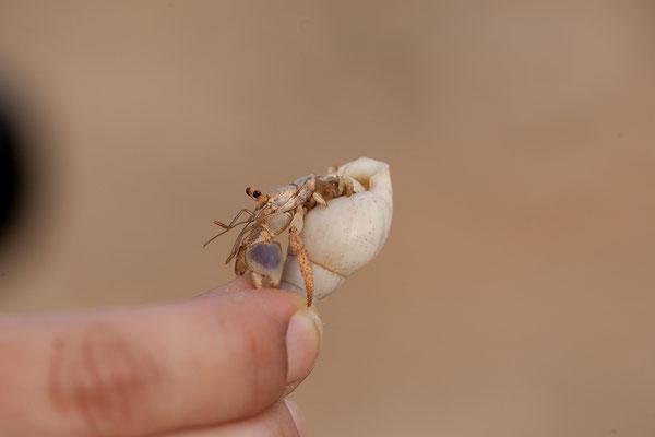 Bei den Felszeichnungen - Coenobita clypeatus, Einsiedlerkrebs
