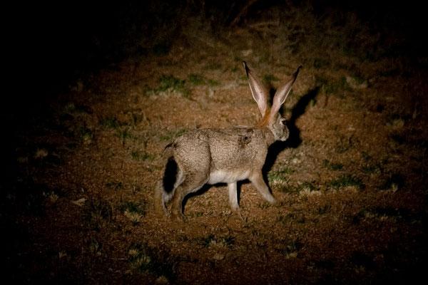 14.2. Wir machen eine nächtliche Farmrundfahrt mit Anke und ihrem Sohn und sehen einige nachtaktive Tiere: Lepus capensis (Cape hare)