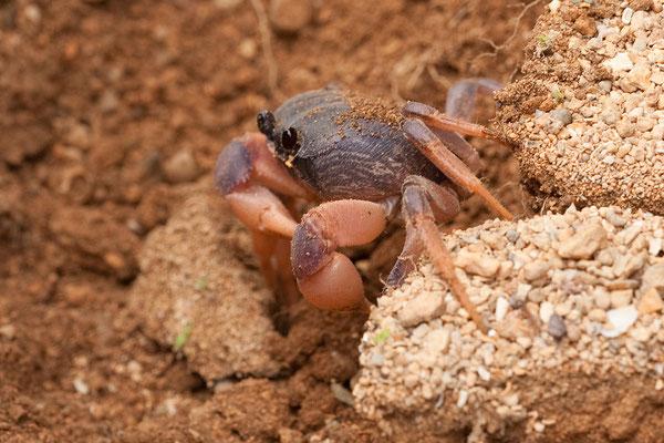 Unterwegs nach Lagún - Sesarma sp., Mangrove Crab