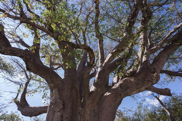 12.05. Nxai Pan NP, Die Baines Baobabs sind nach Thomas Baines, einem britischen Maler und Forschungsreisenden, benannt, der die Baumgruppe am 29.12.1861 besuchte und malte.