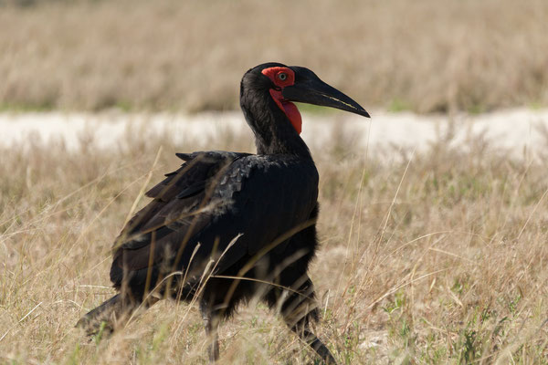 10.05. Moremi GR; Southern ground hornbill - Bucorvus leadbeateri
