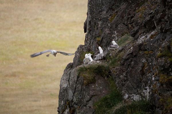6.8. Vatnsnes Halbinsel - Eissturmvogel (Fulmarus gracialis)