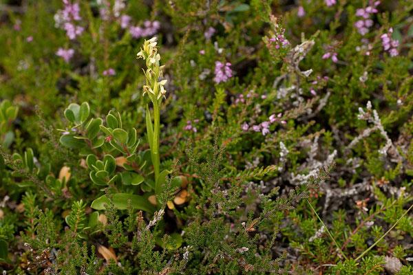 3.8. Mývatn - Dimmuborgir - Westliche Kuckucksblume (Platanthera hyperborea)
