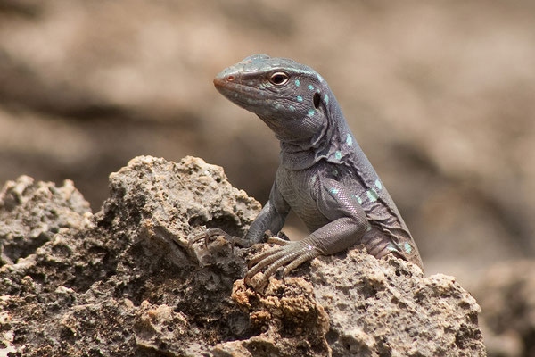 Bei Lagún - Cnemidophorus murinus ruthveni, Bonaire whiptail lizard