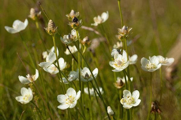 18.8. Kirkjubærklaustur - Supf-Herzblatt (Parnassia palustris)