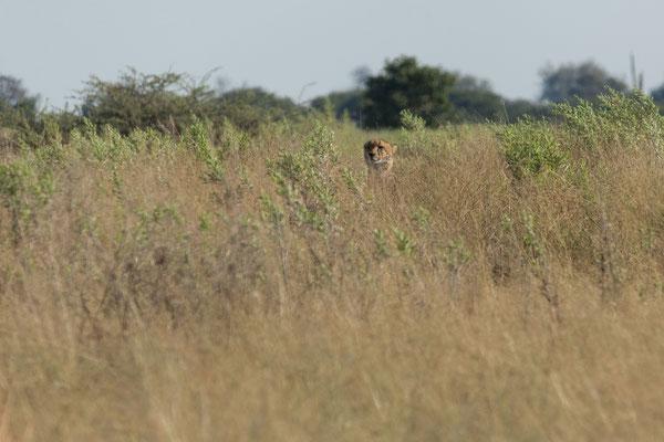 10.05. Moremi GR; unser erster Gepard (Acinonyx jubatus), wir freuen uns sehr über diese Sichtung.