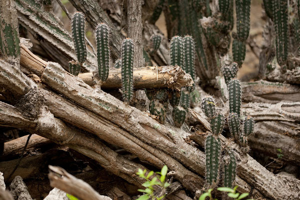 Washington Slaagbai National Park - Lemaireocereus griseus, Yatu/Candle cactus