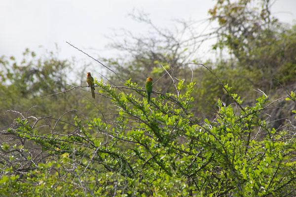 Westküste - Aratinga pertinax, Caribbean Parakeet
