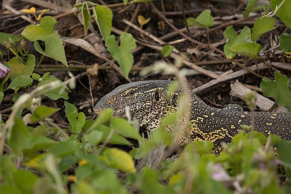 27.4. Mavunje - Bootstour; Nilwaran - Varanus niloticus