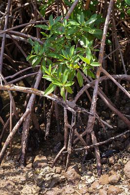 Lower Woburn, Mangrove