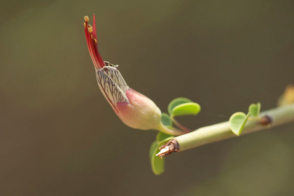 17.2. Gariep neat's foot (Adenolobus gariepensis)