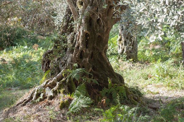 18.9.  Wir fahren durch die ausgedehnten Olivenwälder von Valdanos