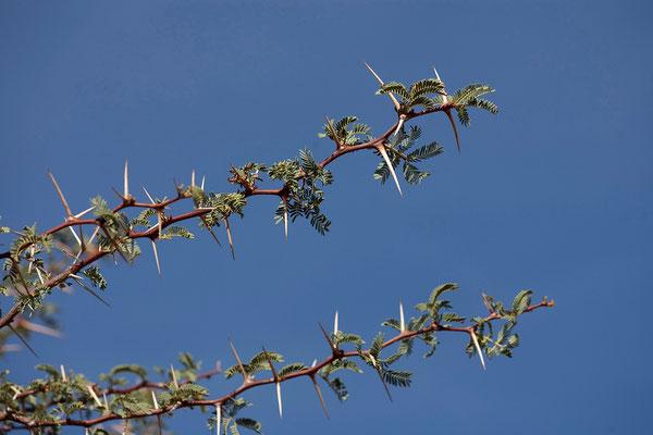 11.2.  Acacia sp.