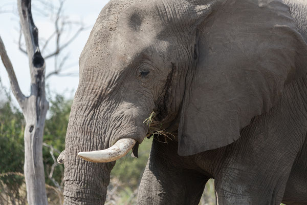 13.05. Makgadikgadi Pans NP, Elefant - Loxodonta africana