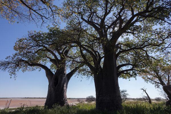 12.05. Nxai Pan NP, Baines Baobabs (Adansonia digitata)