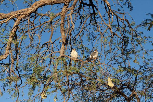 13.02. In der Früh erwarten und diese Pygmy Falcons (Polyhierax semitorquatus)