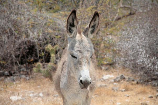 Auf der Insel begegnet man immer wieder verwilderten Eseln