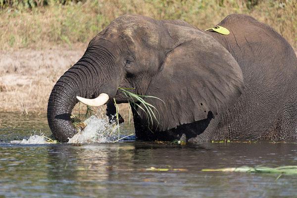 ... Elefanten