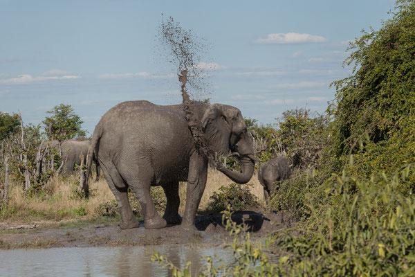 06.05. Chobe NP - Gegen 15:00 Uhr unternehmen wir einen 2. Gamedrive. Elefanten - Loxodonta africana