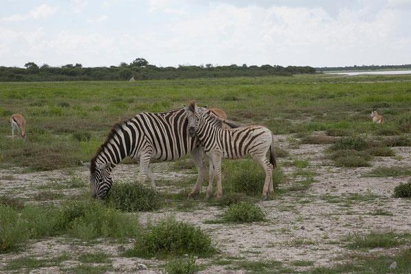 26.2. Etosha - Steppenzebra (Equus burchellii)