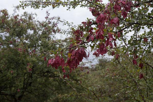 21.4. Waterberg Wilderness, Blutfruchtbaum - Terminalia prunioides