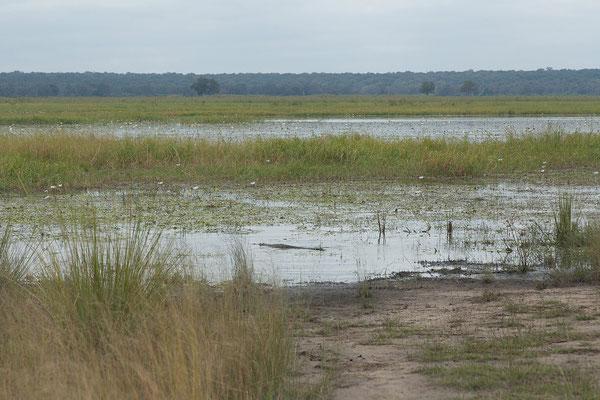 25.4. Mahango Game Reserve, Nilkrokodil - Crocodylus niloticus