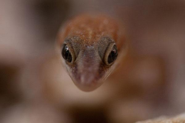 Casa Bonito - juveniler Gecko