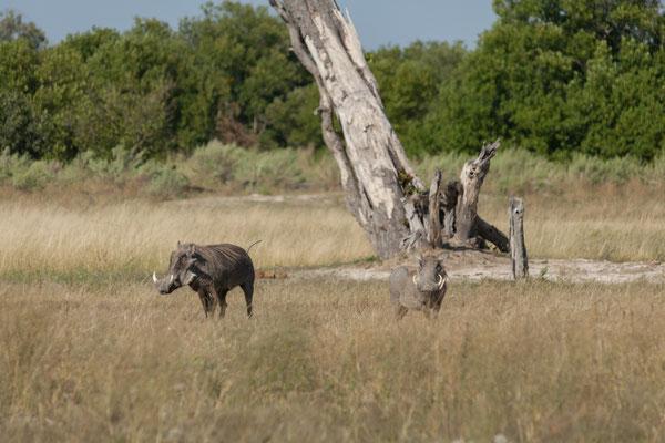 10.05. Moremi GR; Warzenschweine - Phacochoerus africanus