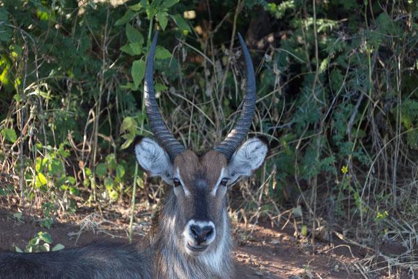 02.05. Bootstour auf dem Chobe, Wasserbock - Kobus ellipsiprymus