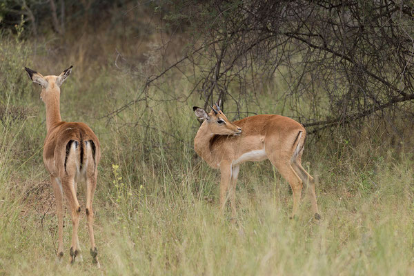 25.4. Mahango Game Reserve, Impala - Aepyceros melampus