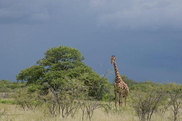 26.2. Etosha - Giraffe (Giraffa camelopardalis)