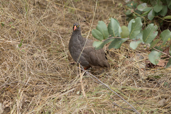25.4. Mahango Game Reserve, Red-billed spurfoul - Pternistis adspersus