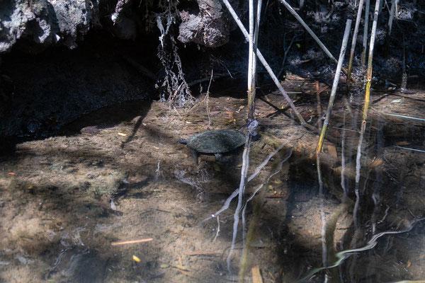 01.06. Kanutour im Fango-Delta; Europäische Sumpfschildkröte - Emys orbicularis