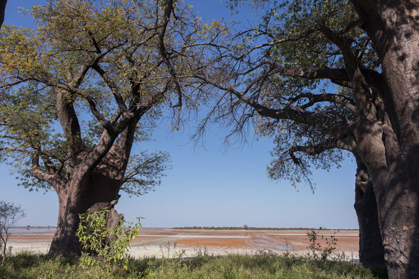 13.05. Nxai Pan NP, Baines Baobabs (Adansonia digitata)