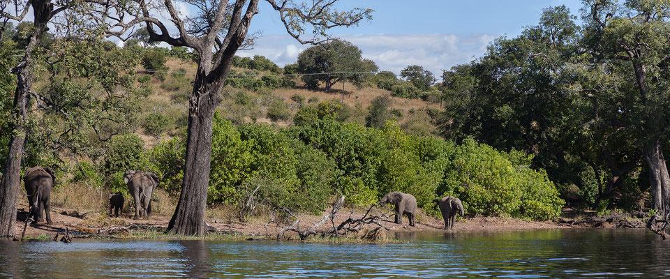 Elefanten - Loxodonta africana