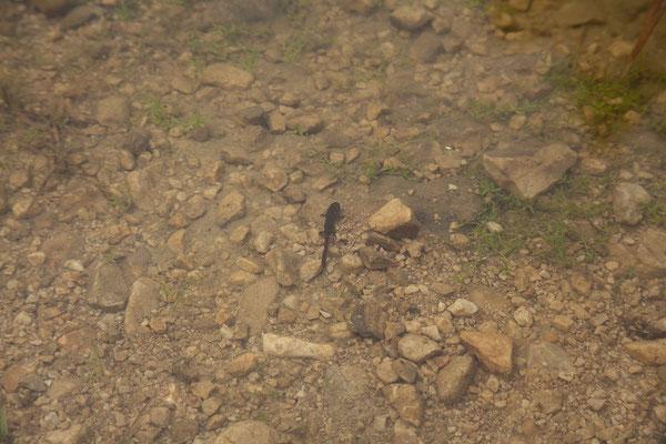 10.9. Durmitor Nationalpark, Salamanderlarven