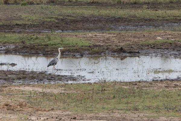 25.4. Mahango Game Reserve, Grey heron - Ardea cinerea