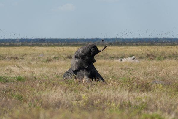 07.05. Chobe NP; Elefant - Loxodonta africana
