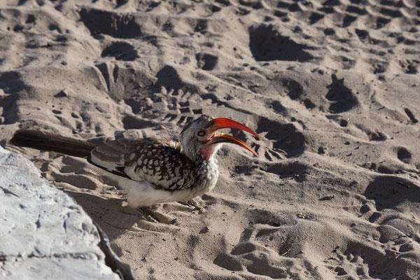 06.05. Chobe NP - Savuti Campsite; ein Toko (Southern red-billed hornbill - Tockus erythrorhynchus) besucht uns.