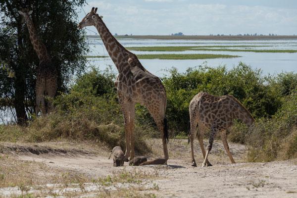 03.05. Chobe NP (Riverfront), Giraffe - Giraffa camelopardalis & Warzenschweine - Phacochoerus africanus