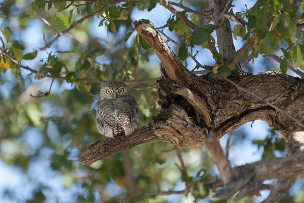 14.05. Makgadikgadi Pans NP, Pearl-spottet owlet - Glaucidium perlatum