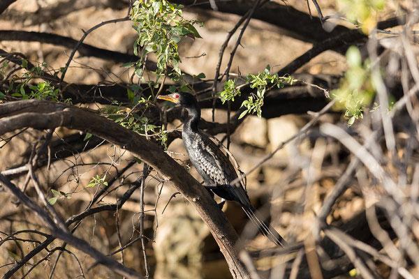 23.4. Bootsfahrt auf dem Kavango: Reed cormorant - Phalacrocorax africanus