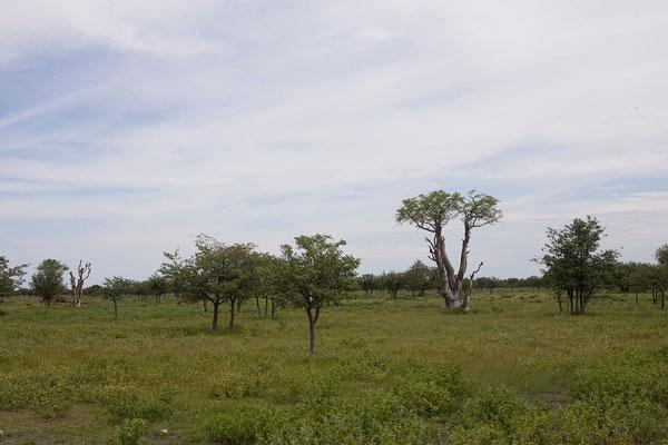 24.2. Etosha - Moringa ovalifolia